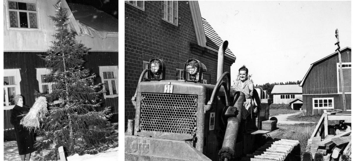 På bilden till vänster Verna Långfors som sätter ut en julkärv och till höger provsitter hon en maskin bakom mejeriet.