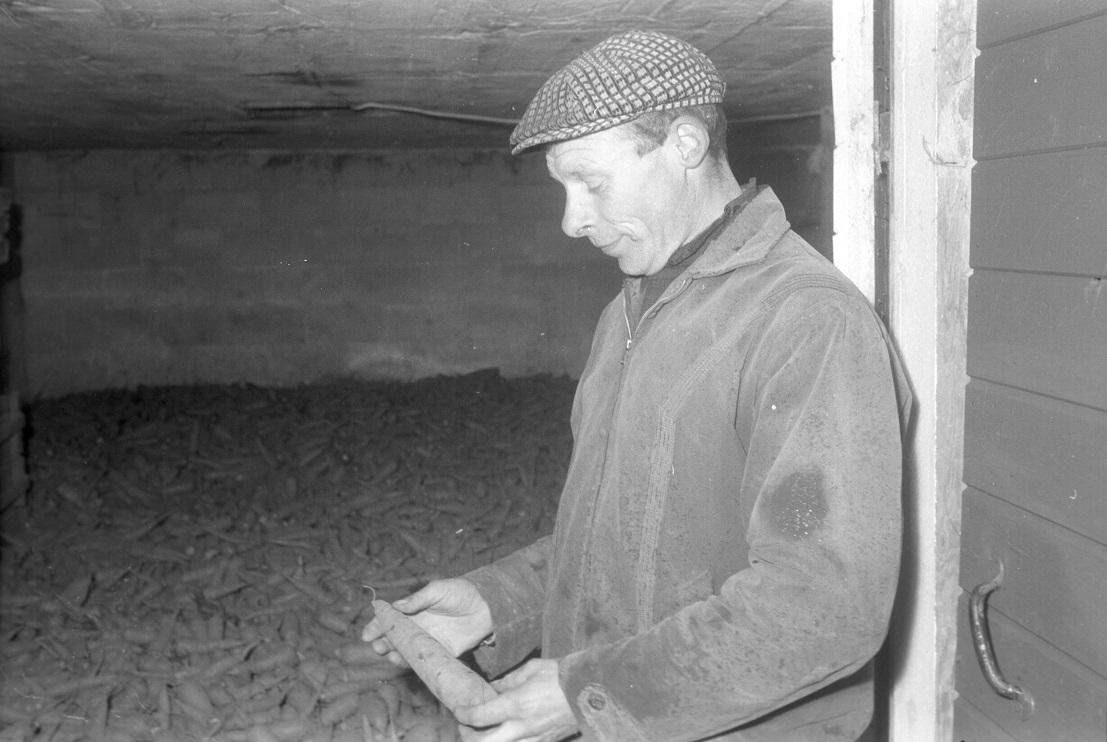 """Här visar Boris Långfors upp morotsskörden för Vasabladets fotograf Rafael Olin år 1965. """"En jordbrukare i Dagsmark som inte odlar rotfrukter av något slag är ingen jordbrukare"""", sade Boris Långfors då. Det var bra lönsamhet med morötter den tiden, han väntade sig ett pris på 30 penni per kilo mot 8 för potatis. Bild från Traditionsarkivet i Vasa."""