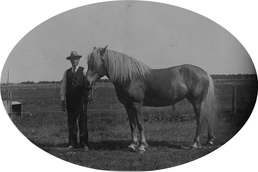Artur Mitts som stolt hästägare på Åbackan. Hästen hette Laura och den hade inköpts i Jämijärvi. Vill du läsa mera om hästarna på Mitts, så rulla till slutet på denna historik så får du läsa om hästarna som togs ut i krigstjänst.