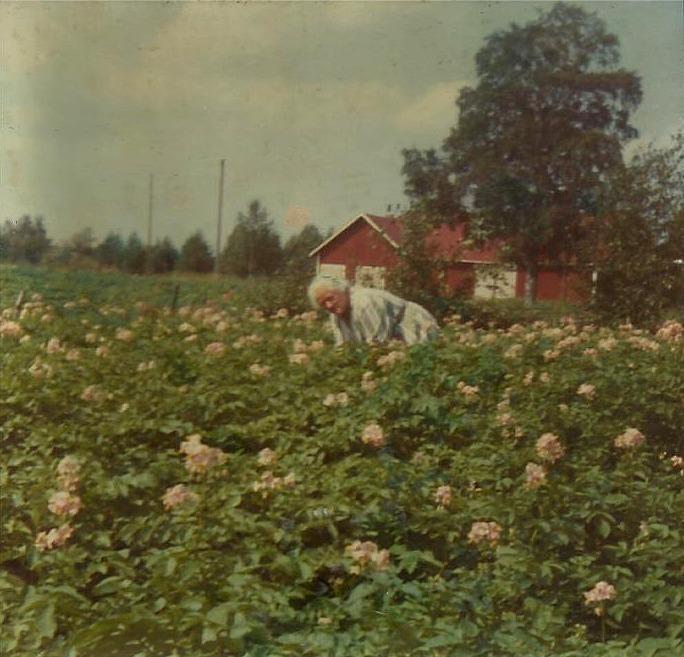 Här Alice Lillkull i potatislandet som låg mellan gården och landsvägen. Fotot från 1970 och i bakgrunden syns Åke Backlunds uthusbyggnad som sedan byggdes om till potatislager.