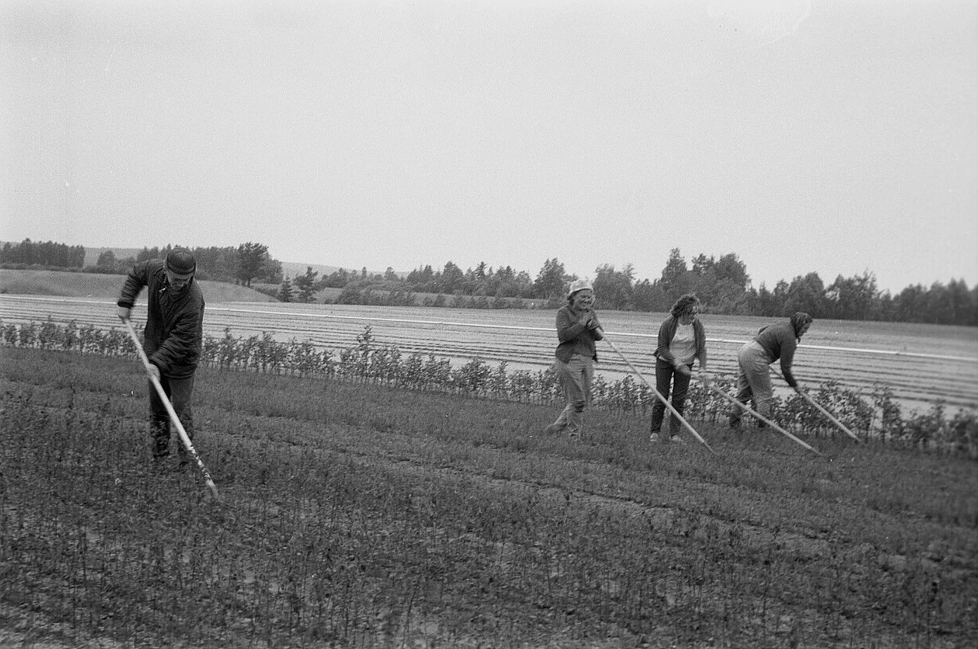 Arbetsmetoderna på plantskolan har förbättrats betydligt från de första åren till i dag. Fotot är från 1965 och till vänster går Per Antfolk, följande är Astrid Granér, Inga-Lill Lillkull och till höger Verna Långfors.
