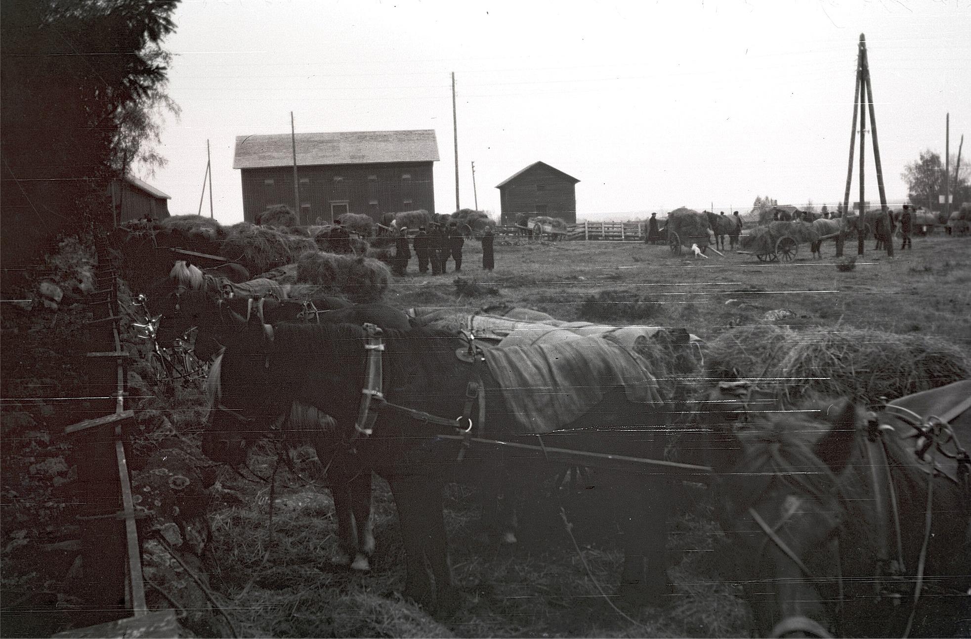 Här ser vi många hästar utanför kyrkan i Lappfjärd i väntan på förflyttning till järnvägsstationen i Kristinestad. Läraren Selim Björses var med och förevigade det hela.