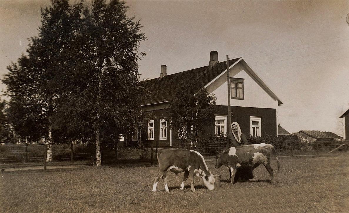 """På bilden Guldis mor """"Nyströmas-Anakajs"""" med kalvarna på åkern bredvid Nyströms gård. Anakajs hade vistats i Amerika runt sekelskiftet och när hon återvände så hjälpte hon flera Dagsmarkbor som stod i beråd att flytta till Amerika, både ekonomiskt och med goda råd."""