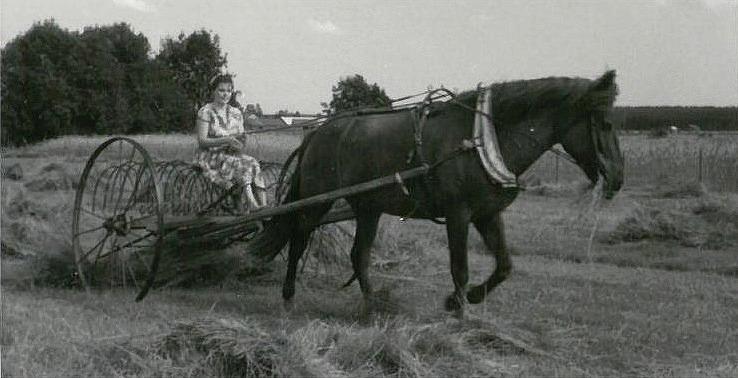 På bilden kör Else Grönlund med höräfsan och hästen Mona passade på att nafsa åt sig en hötapp.