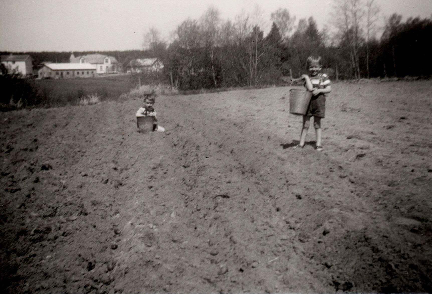 Kurt och John sätter potatis i slutet på 50-talet. I dag skulle detta kallas barnarbete och vara förbjudet.