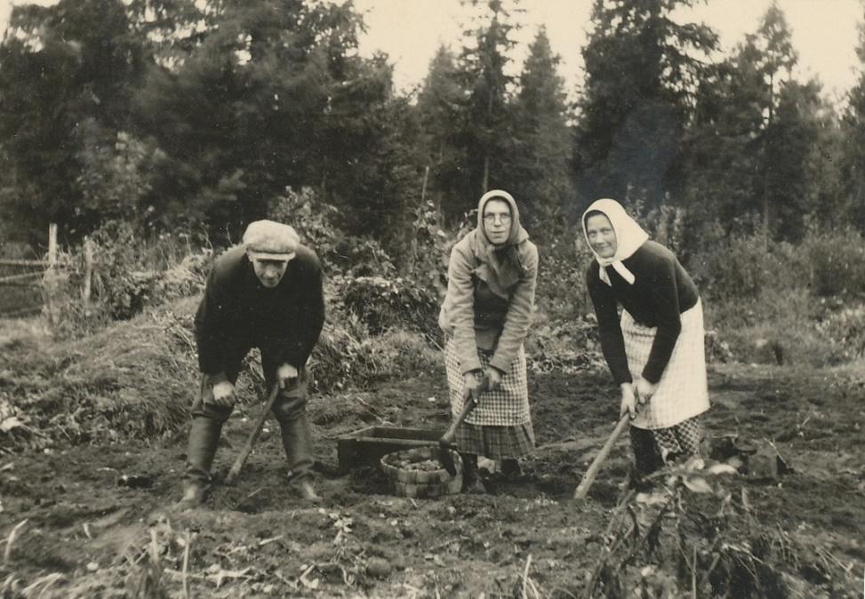 Makarna Erland Björklund och Hentela-Hulda gräftar potatis tillsammans med Helmi Lövholm till höger.