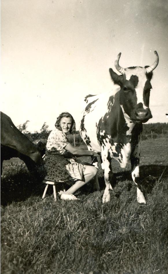 Här sitter Helvi och mjölkar en ko medan den andra står bakom och väntar på sin tur.