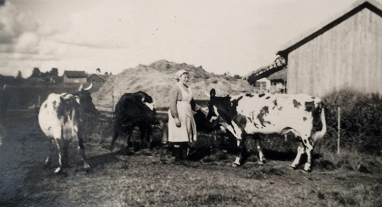 Hilda Santamäki med korna i hagen bakom Myllyniemis snickeri.