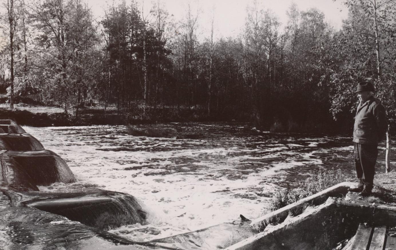 Här står Gunnar Gröndahl vid Lappfjärds och ser hur vattnet rinner över dammen i Pärusforsen, där han tyckte att fisktrappor borde byggas för att underlätta fiskarnas vandring uppför ån.