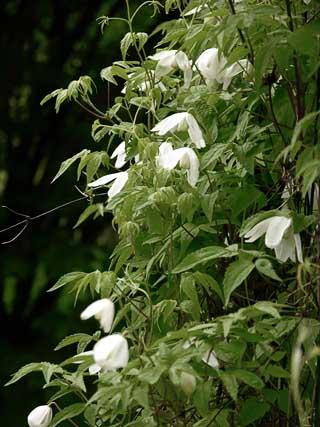 Sipprankan blommar med ljusa blommor i juni – juli.