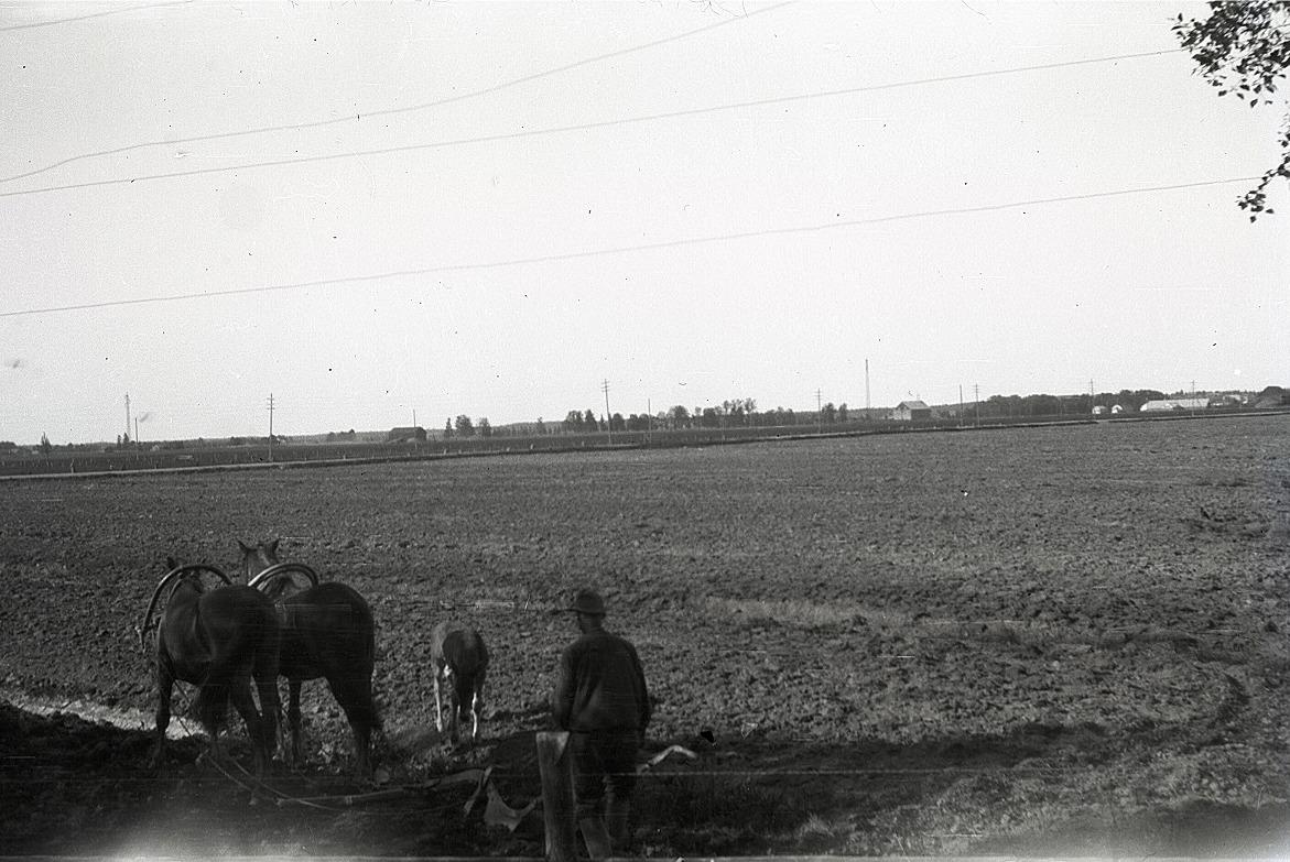 Det var ett stort arbete både för bonden och de två hästarna som drog den enskäriga Fiskarsplogen att få en så här stor åker plöjd. Det lilla fölet fick springa lös bredvid.