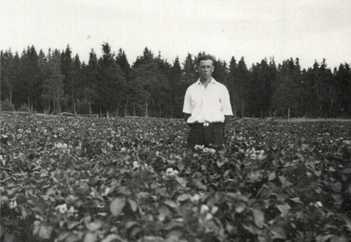 Albin Hermans (f.1919) i potatislandet.