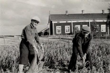 Rurik Holm till höger gräftar upp potatisen medan kamraten Herbert Nordman håller upp säcken. Bakom gärdesgården står Ruriks hemgård.