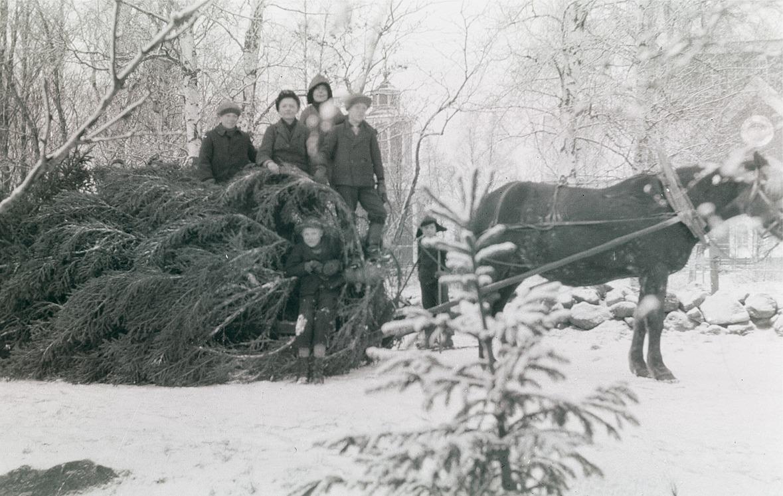Skoleleverna hämtar hem en större julgran med häst, kyrkan i bakgrunden.