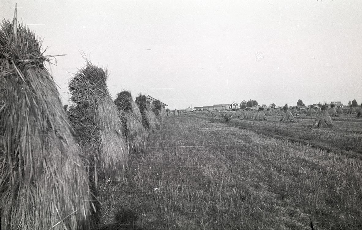 """Skylarna uppsatta på tork. I bakgrunden syns """"Erkas"""" alltså Henrik Agnäs gård på Stenvägen."""