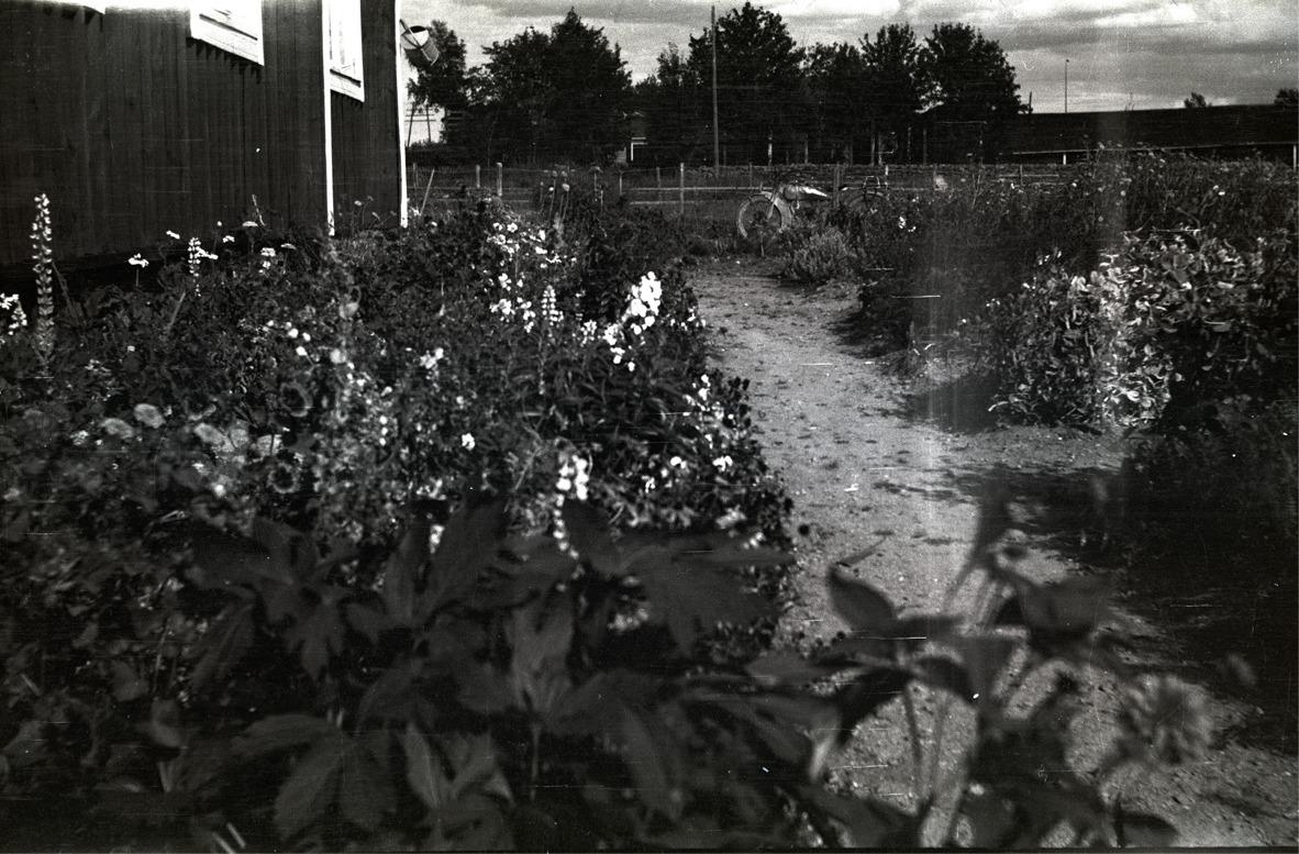 Astrid Björklunds mångåriga blommor uppefter stugväggen i Dagsmark. Mitt i bild skymtar en motorcykel, möjligtvis tillhörande fotografen Selim Björses.