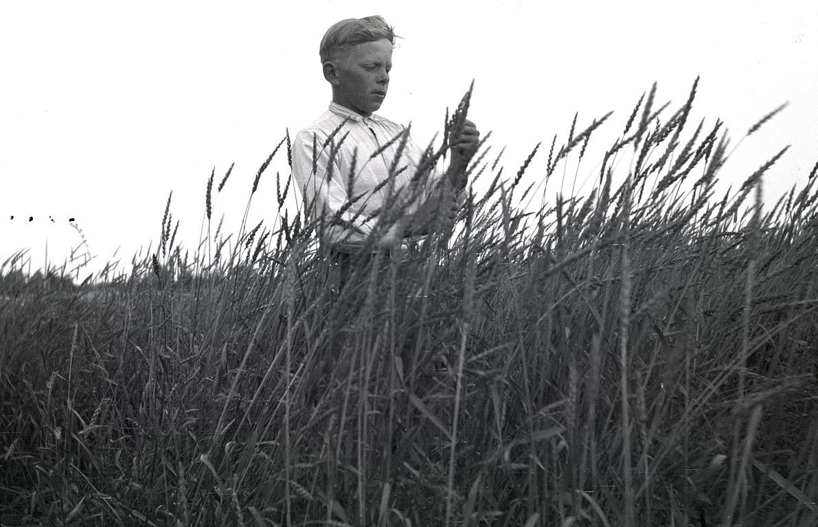 Birger Klockars kollar axen på vetet i sin åker.