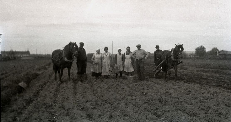 I början på juni skulle potatisen sättas och det gjordes för hand efter att hästen först kört upp fårarna.