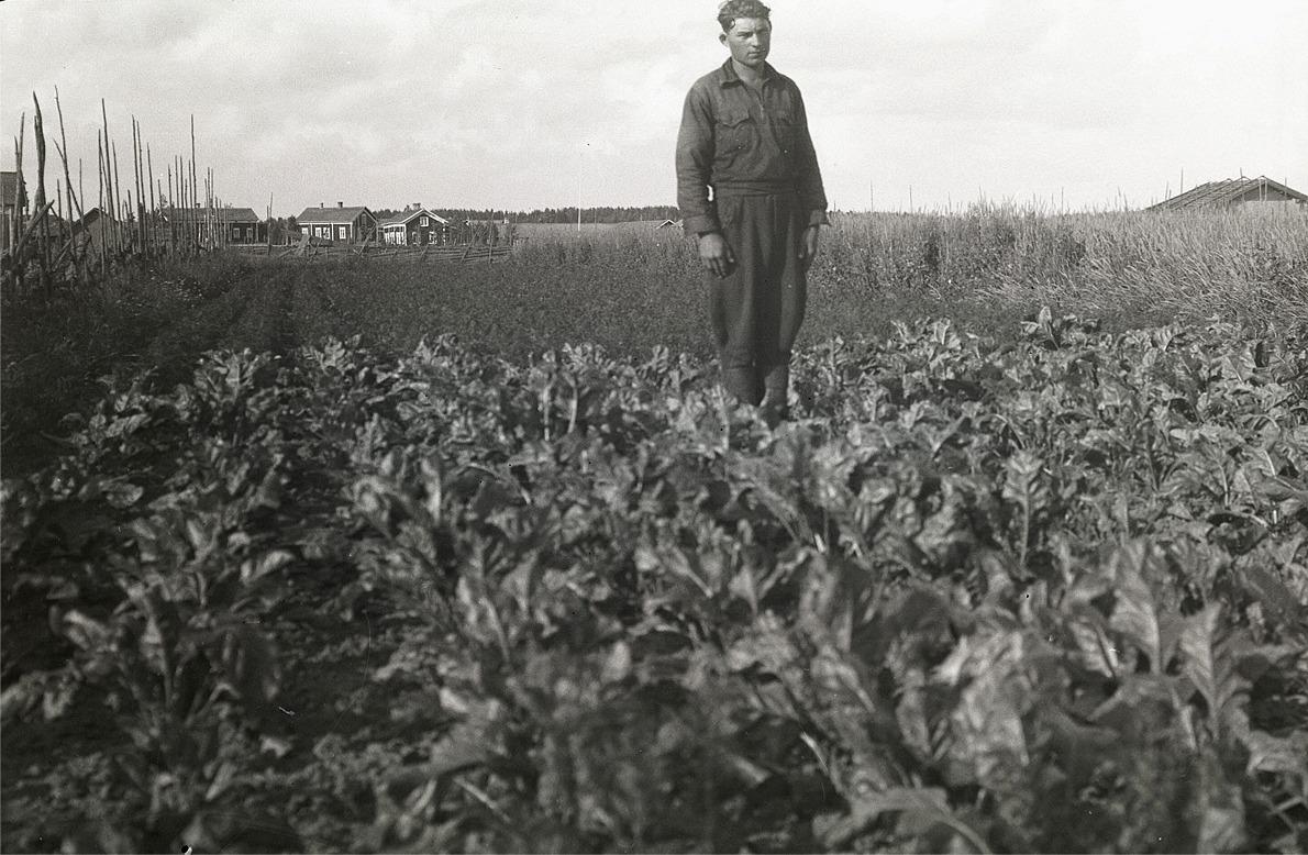 Åke Jossandt i sitt rotfruktsland.