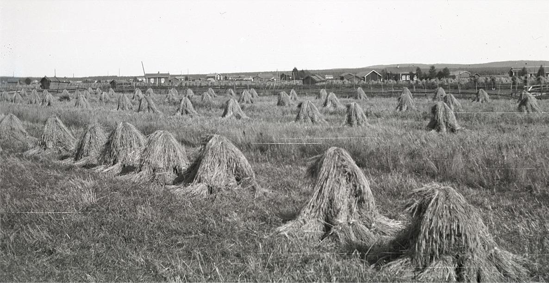 Så här såg det ut på åkrarna förr i tiderna, med rågskylar i långa rader.