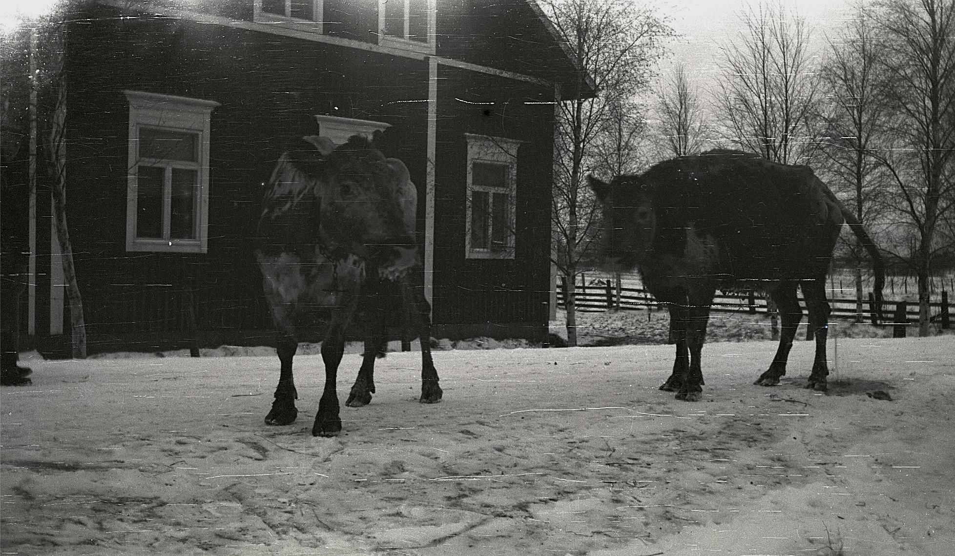 Folk och kreatur började evakueras från Karelen och här två villrådiga kor på landsvägen i Lappfjärd.