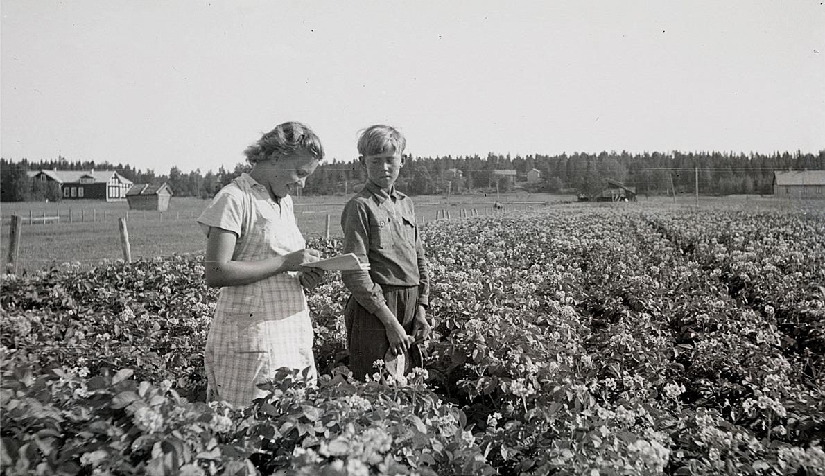 Klubbledaren Karin Andtfolk granskar Runar Klemets fina potatisland i Härkmeri.