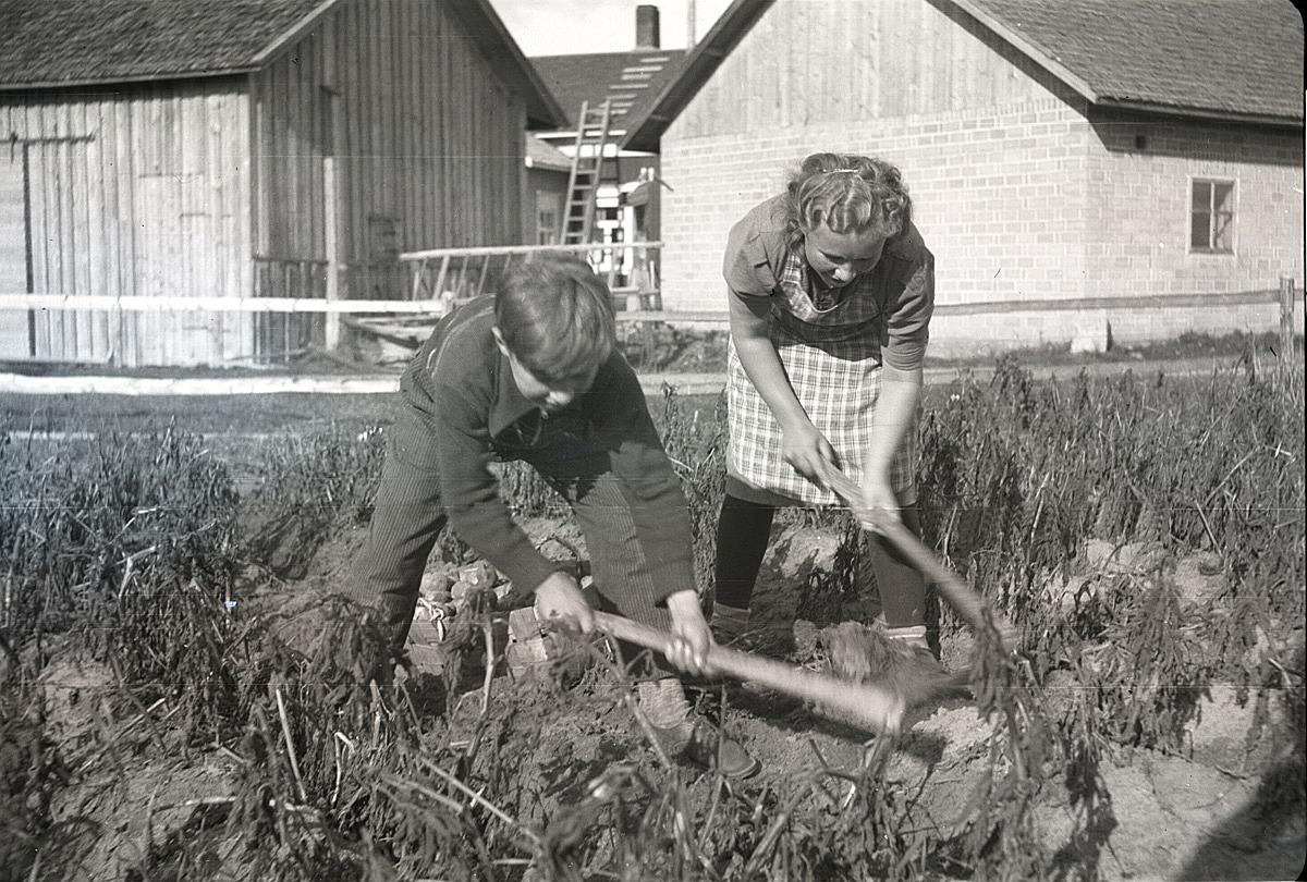 Åke Kankaanpää och Dagny Nyberg gräftar upp potatis i sitt klubbland på Sunnantillvägen i Dagsmark. Dagny gifte sig sedan med Egil Mannfolk från Lappfjärd.
