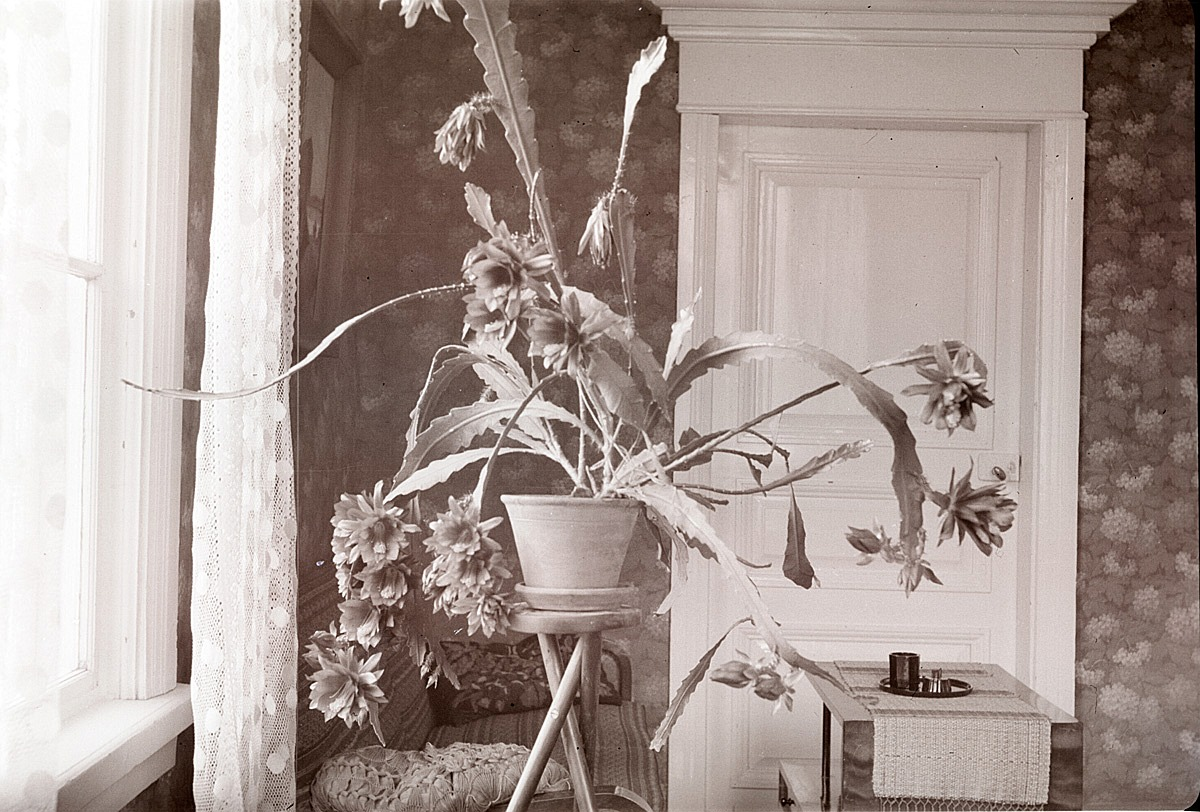 Lärare Selim Björses blommande kaktus i sitt hem 1941.
