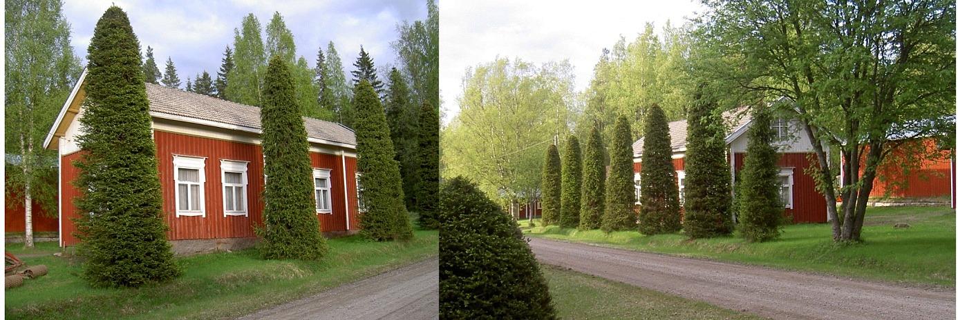 På bilderna Johan Viktor och Huldas gård i Lillsjö som övertogs av brorsonen Arvid Berglund. De vackert klippta granarna är Arvids verk.