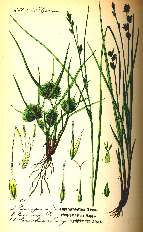 Här exempel på några av de starrväxter som i vardagligt tal kallades för lappgräs eller lapphö.