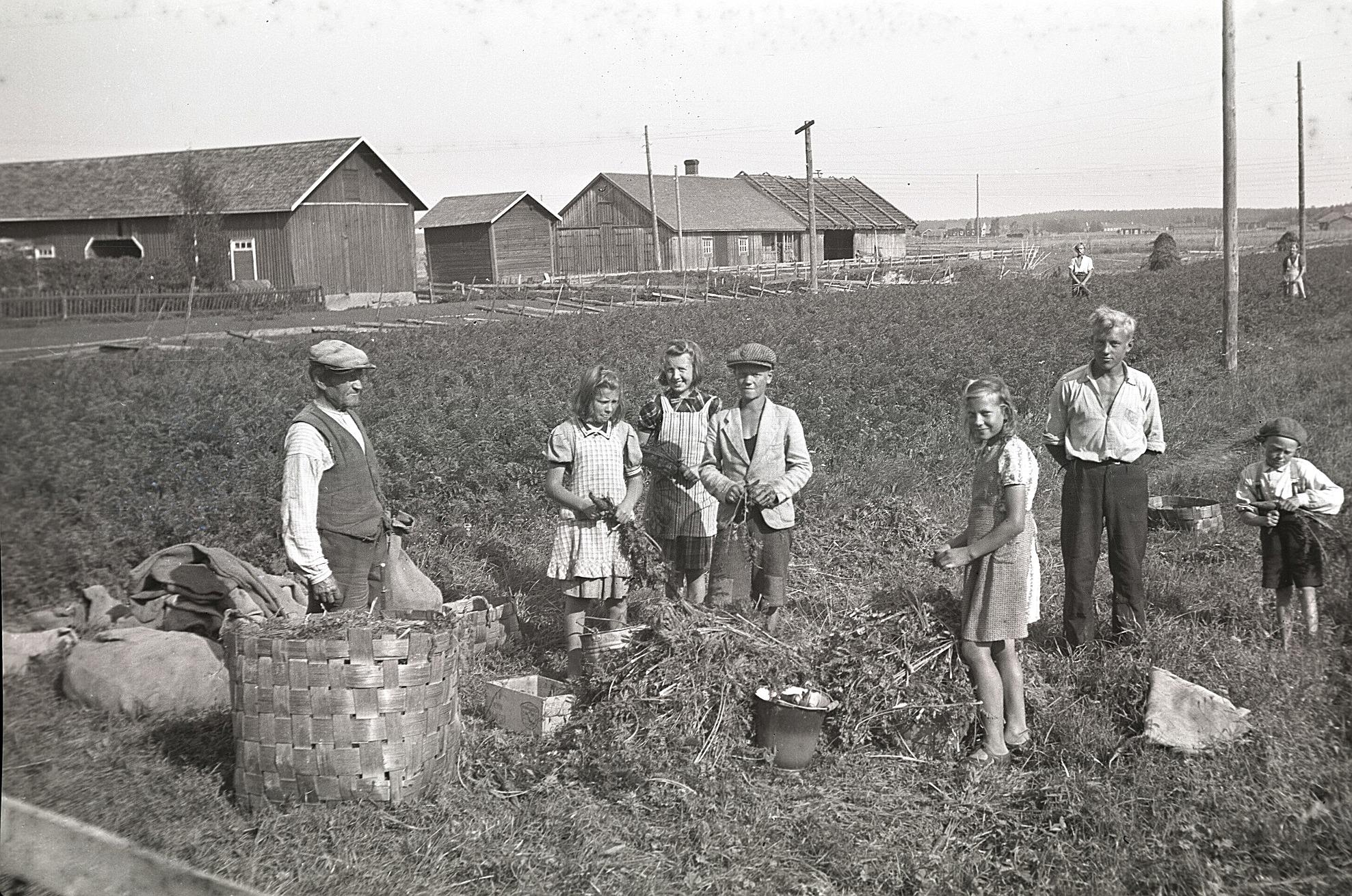 Viktor Ålgars (1871-1949) med många hjälpredor i morotslandet. Mitt i bild står sonen Kurt (f.1926) och med händerna på ryggen står Åke (f.1924) och längst till höger Johan (f.1929). Längst bak i åkern står dottern Agnes (f. 1917). De övriga flickorna tillsvidare okända. Artur Hellmans uthus och ria syns till vänster.