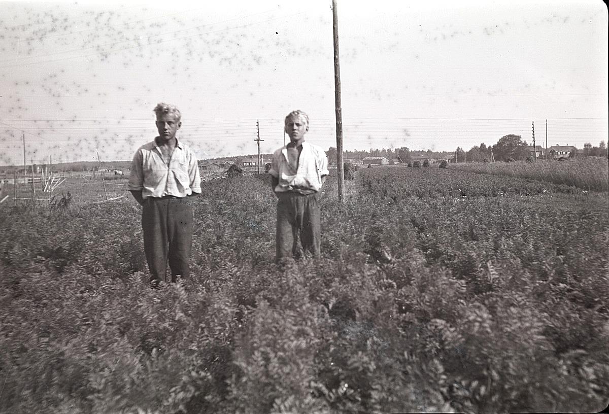 Åke och Kurt Ålgars i morotslandet. I bakgrunden till höger syns kommunalgården.
