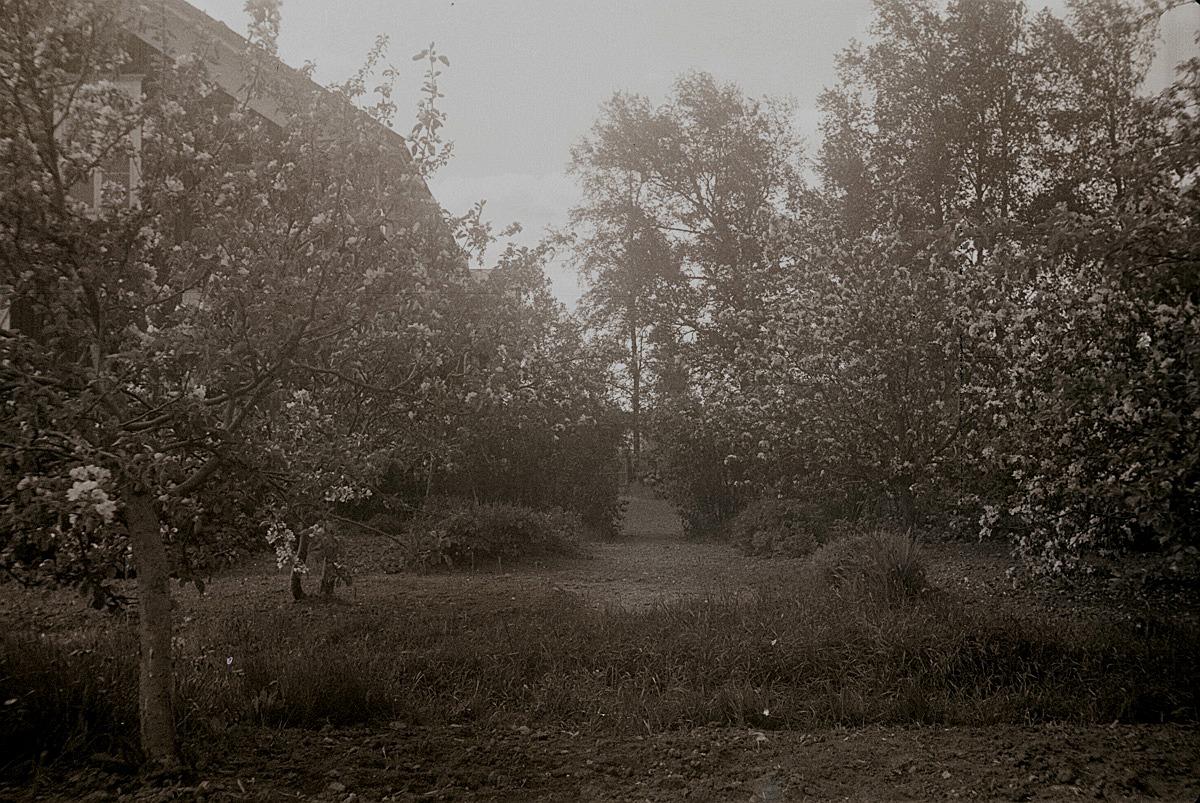 Äppelträden blommar i Selims trädgård.