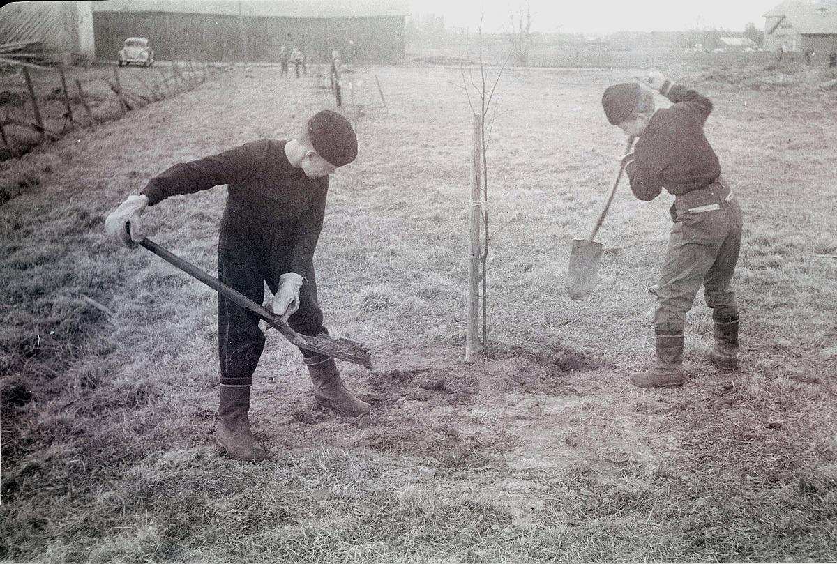 Kolla vilka rejäla arbetshandskar pojken till vänster har, då de planterar björkar på skolgården.