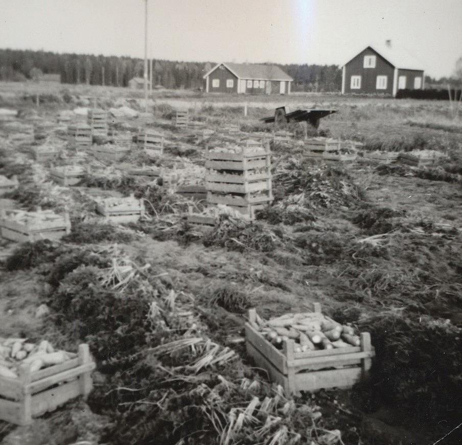 Lådorna är fyllda med nyskördade morötter, som sedan skall köras till källaren med kärran som väntar i bakgrunden. Längre bort syns Helmers gård.