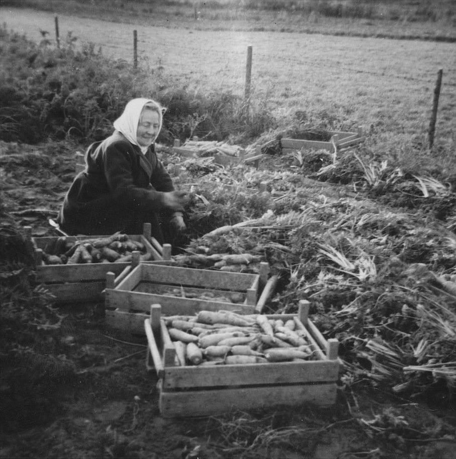 Morotsodlingen var en viktig näring i Dagsmark före potatisen blev det som alla bönder satsade på. Morötterna skördades sent på hösten för hand och sattes i trälådor, för att sedan köras till morotskällaren. Signe Grans visar här hur arbetet gick till.